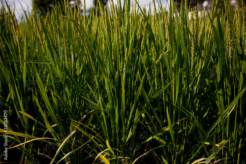 壁纸 草 成片种植 风景 绿色 植物 种植基地 桌面 400_267