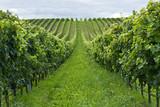 Rows of grapes