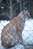 Close-up portrait of a captive Eurasian Lynx (Lynx lynx) on a sn poster