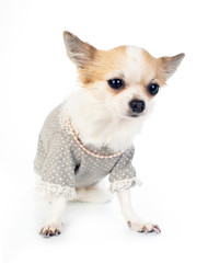 Pretty Chihuahua with dress and pink pearl