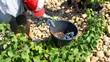 Récolte des grappes