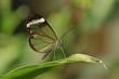 papillon du Costa Rica, le Greta oto