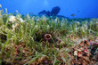 anemone cerianto subacqueo acquario