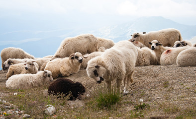 Sheep in the carpathians