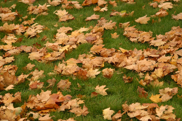yellow leaves on green lawn