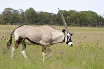 Gemsbok (Oryx) Walking through grassland