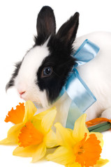rabbit with blue ribbon and bouquet of yellow narcissus isolated