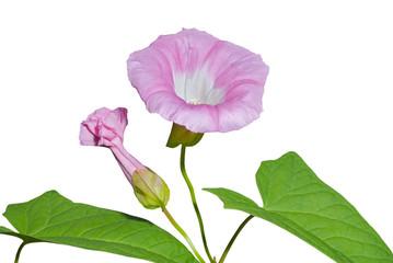 Flower of bindweed 1