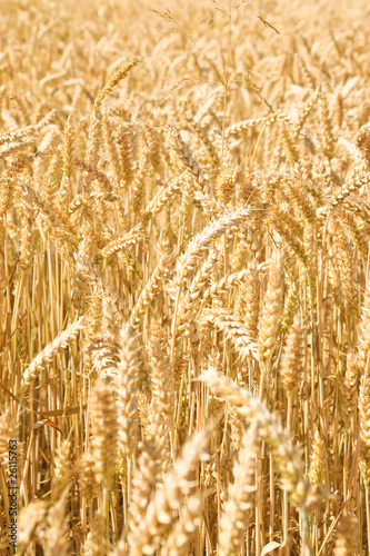 Full frame close up of wheat