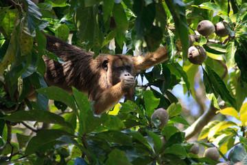 Howler monkey in pantanal, Brazil