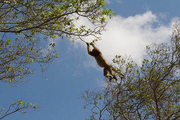 Leaping Howler monkey in pantanal, Brazil