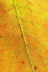 detail of an autumn leaf (pear tree)