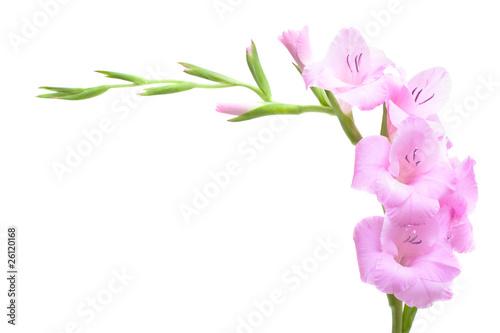 Foto op Plexiglas Iris Pink gladiolus isolated on white