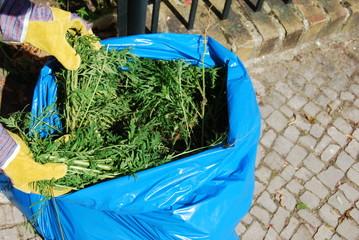 Ambrosia mit Arbeitshandschuhen in einen blauen Müllsack