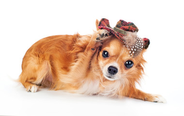 Chihuahua tipping a hat in greeting