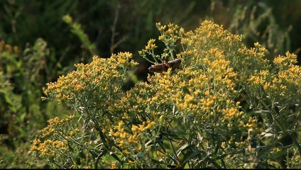 Grasshopper on goldenrod