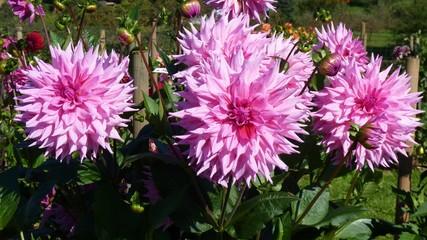 rosa farbene Dahlien