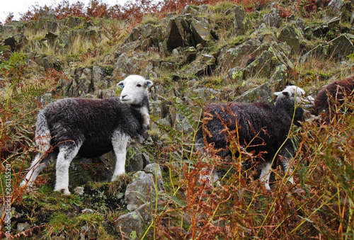 Grazing Herdwick Sheep on an English Moor