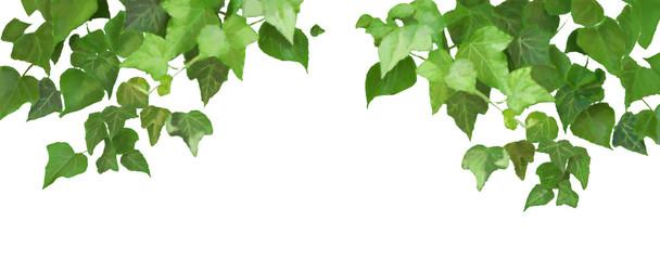 Edera - pianta