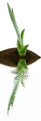 jeune plant d'aloès