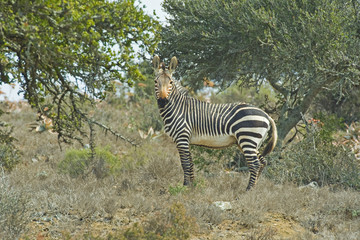 A rare Mountain Zebra in the Dry habitat it loves