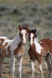 Wild mustangs of McCullough Peak