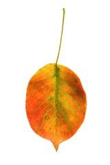 Herbstblatt (Mostbirne)