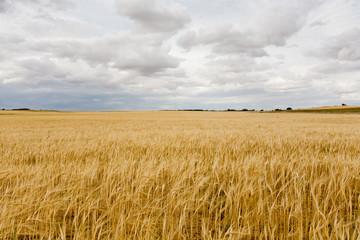 Campo de Cereal antes de recolección (Toma 2)