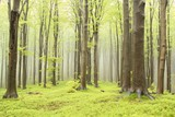 Spring beech forest on the mountain slope - 26153922