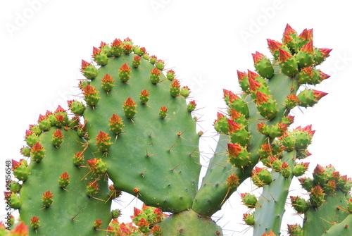 Papiers peints Cactus Figuier de barbarie