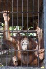Sad Orangutan in a cage.