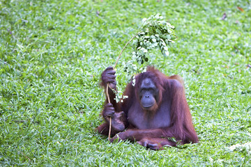 Female Orangutan using a branch for shade.