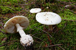 fool's mushroom, deadly poisonous - 26159343