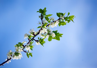 Spring cherry tree  in blossom