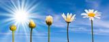 Etapes de la croissance d'une marguerite, fond ciel