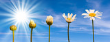 Fototapeta rozwój - faza - Kwiat