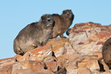 Cape Hyrax sitting on a rock