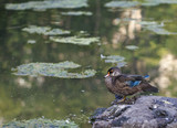 Wood duck resting on rock