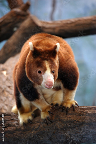 Deurstickers Kangoeroe Matschie's Tree-Kangaroo close up