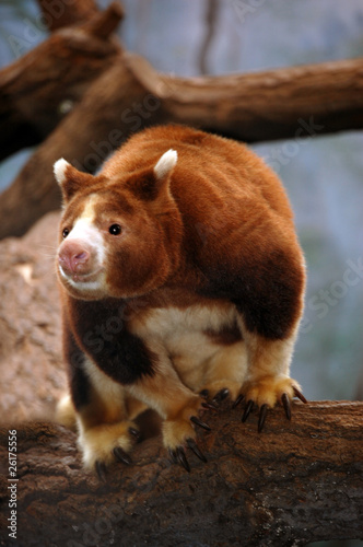 Papiers peints Kangaroo Matschie's Tree-Kangaroo on tree