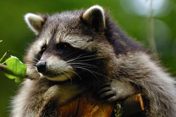 Sad raccoon