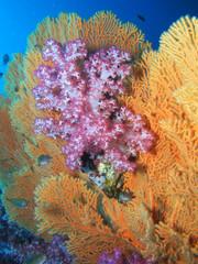Weichkorallen dendronephthya hemprichi und melithaea ochracea