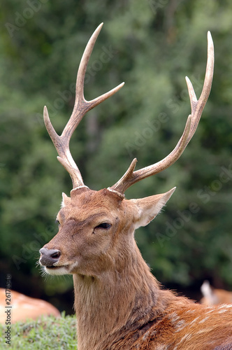 The Male Sika Deer