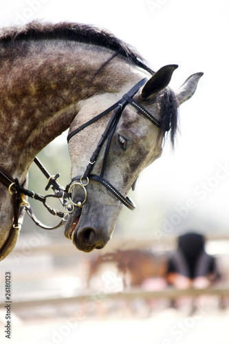 Head of dappled grey horse