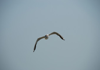 gull in the sky