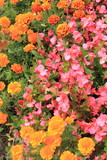 Carpet of Marigold and begonias