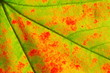 autumn leaf detail