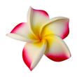 fleur synthétique de frangipanier sur fond blanc