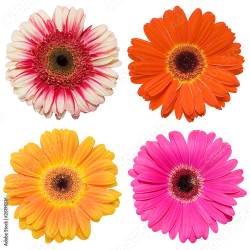 Gerbera flower collage isolated on white background