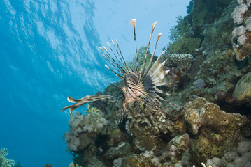 Common Lionfish showing-off its ornate fins.
